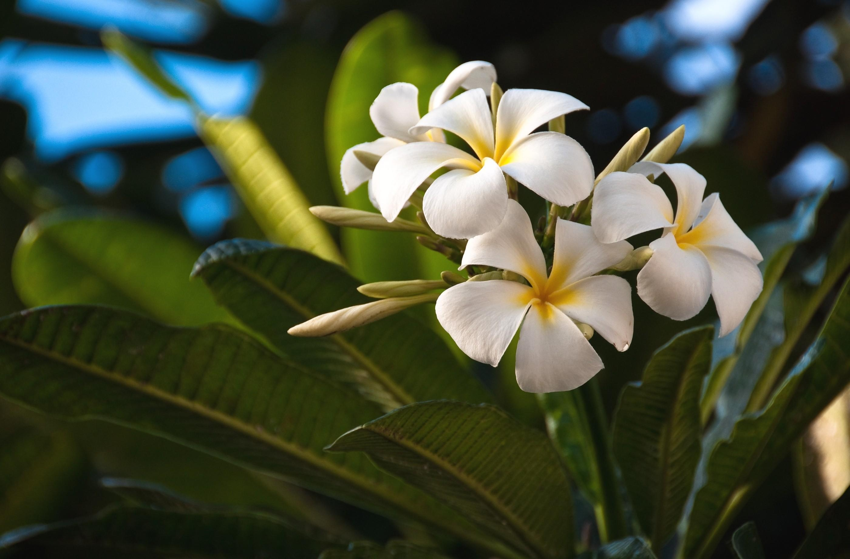 59709 download wallpaper Flowers, Leaves, Exotic, Exotics, Plumeria screensavers and pictures for free