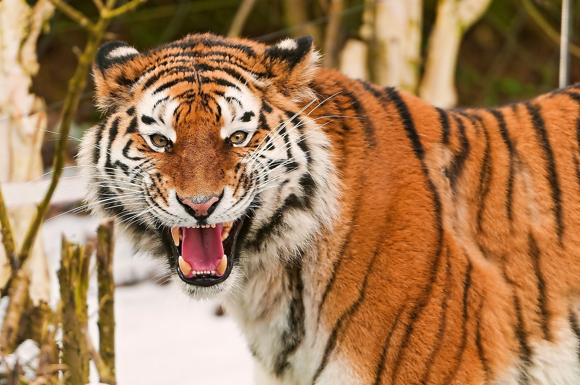 106255 download wallpaper Animals, Tiger, Muzzle, Striped, Predator, Big Cat screensavers and pictures for free
