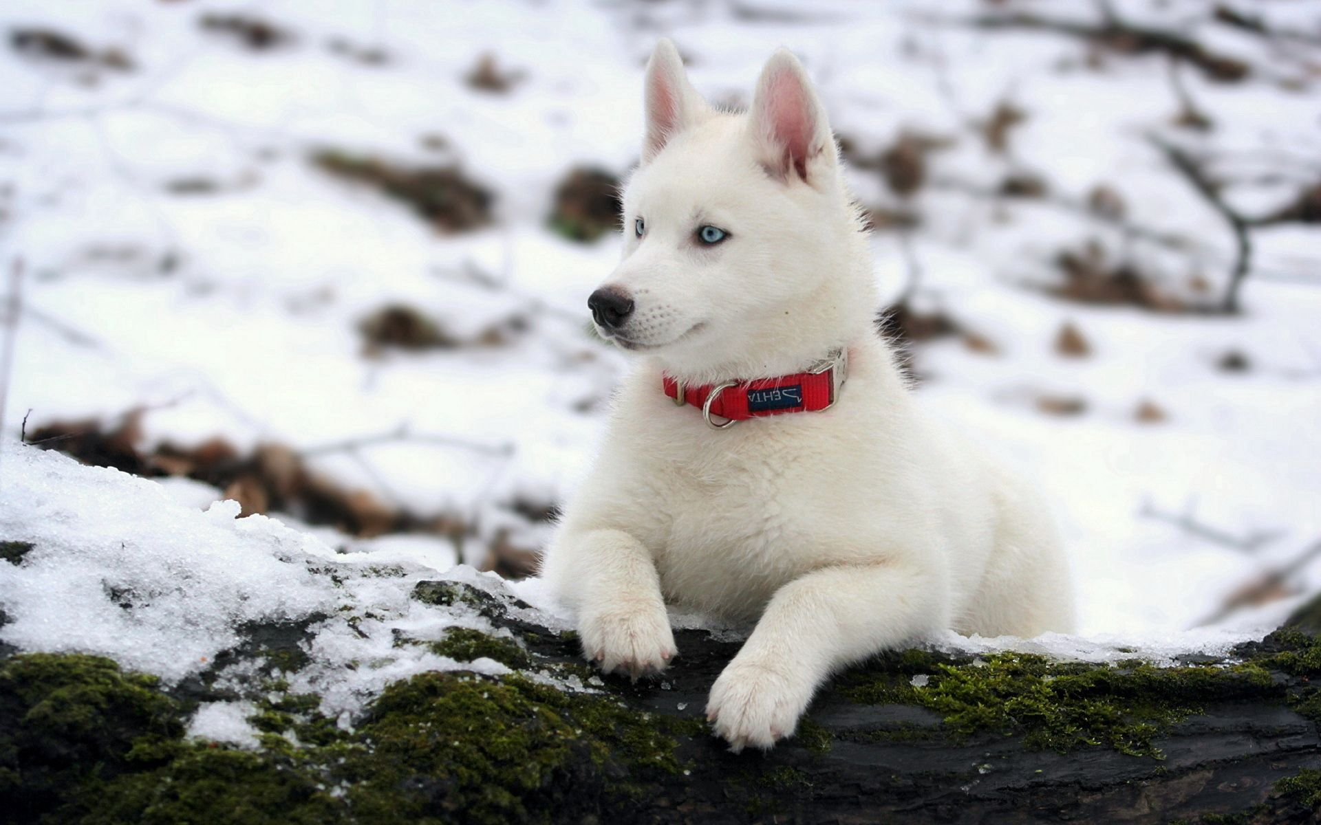 56493 Screensavers and Wallpapers Husky for phone. Download Husky, Animals, Snow, Dog, Puppy, Moss, Haska, Collar, Log pictures for free