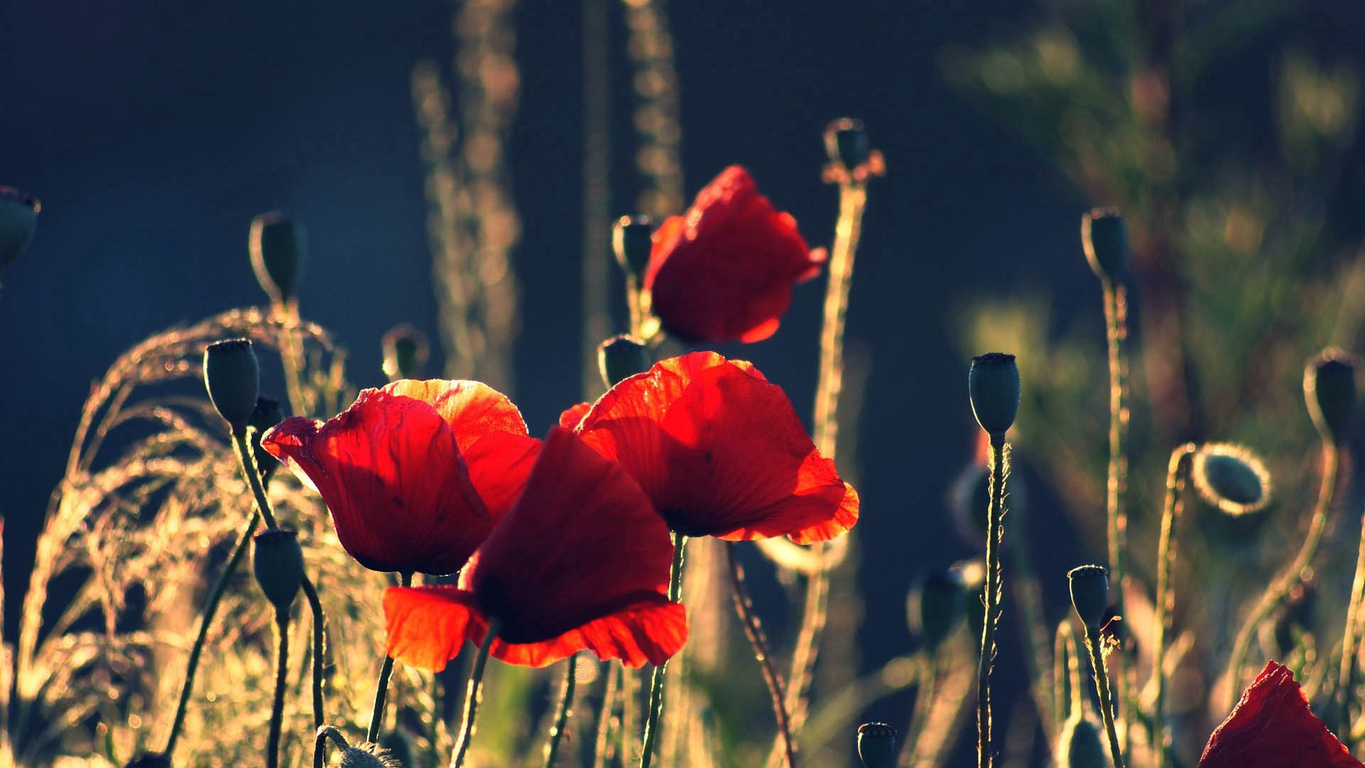 133642 Screensavers and Wallpapers Poppies for phone. Download Flowers, Poppies, Stem, Stalk pictures for free