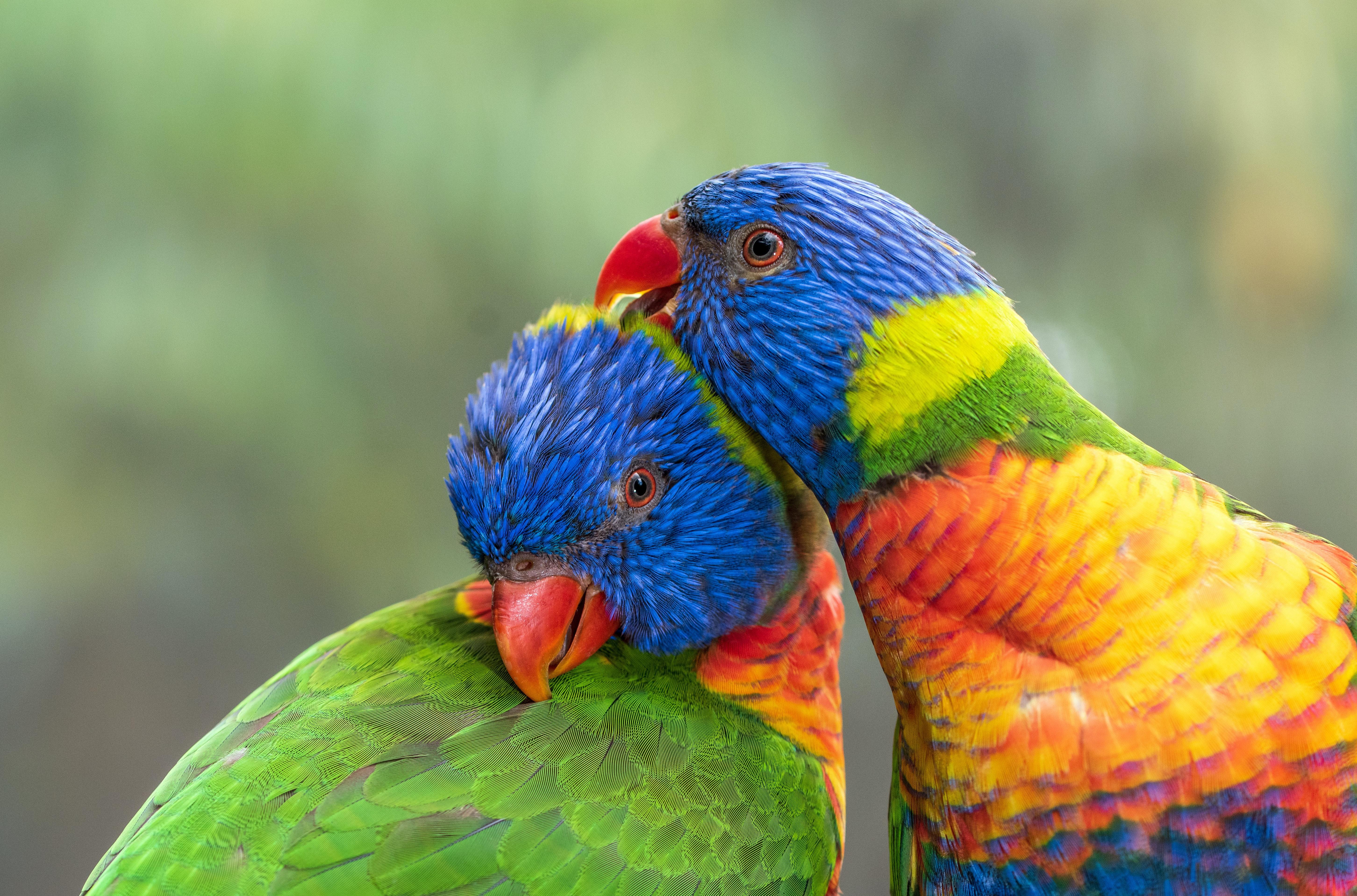 85031 Заставки и Обои Птицы на телефон. Скачать Птицы, Попугаи, Животные, Разноцветный, Многоцветный Лорикет картинки бесплатно