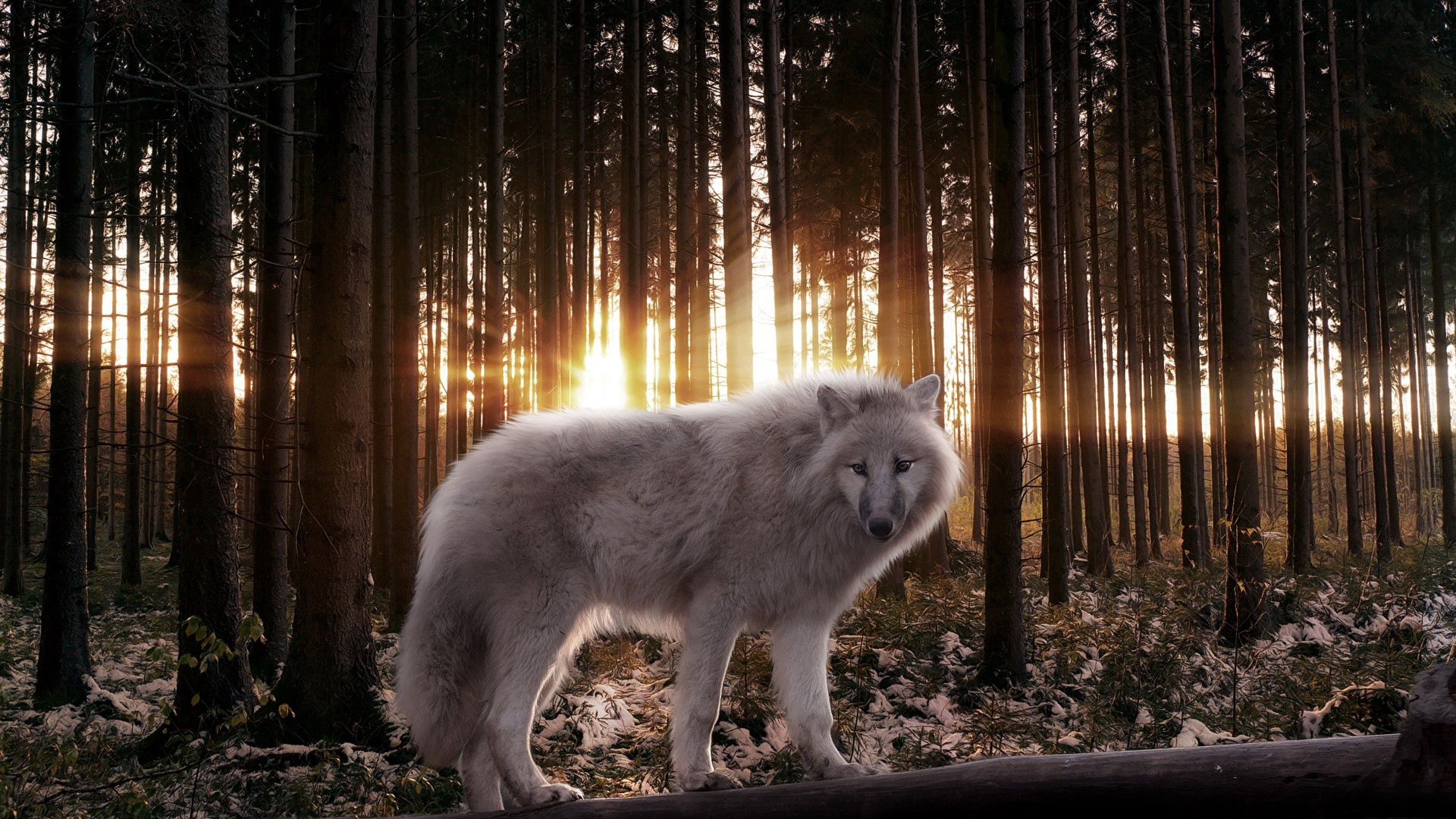 123835 Screensavers and Wallpapers Beams for phone. Download Animals, Trees, Shine, Light, Beams, Rays, Forest, Predator, Wolf pictures for free
