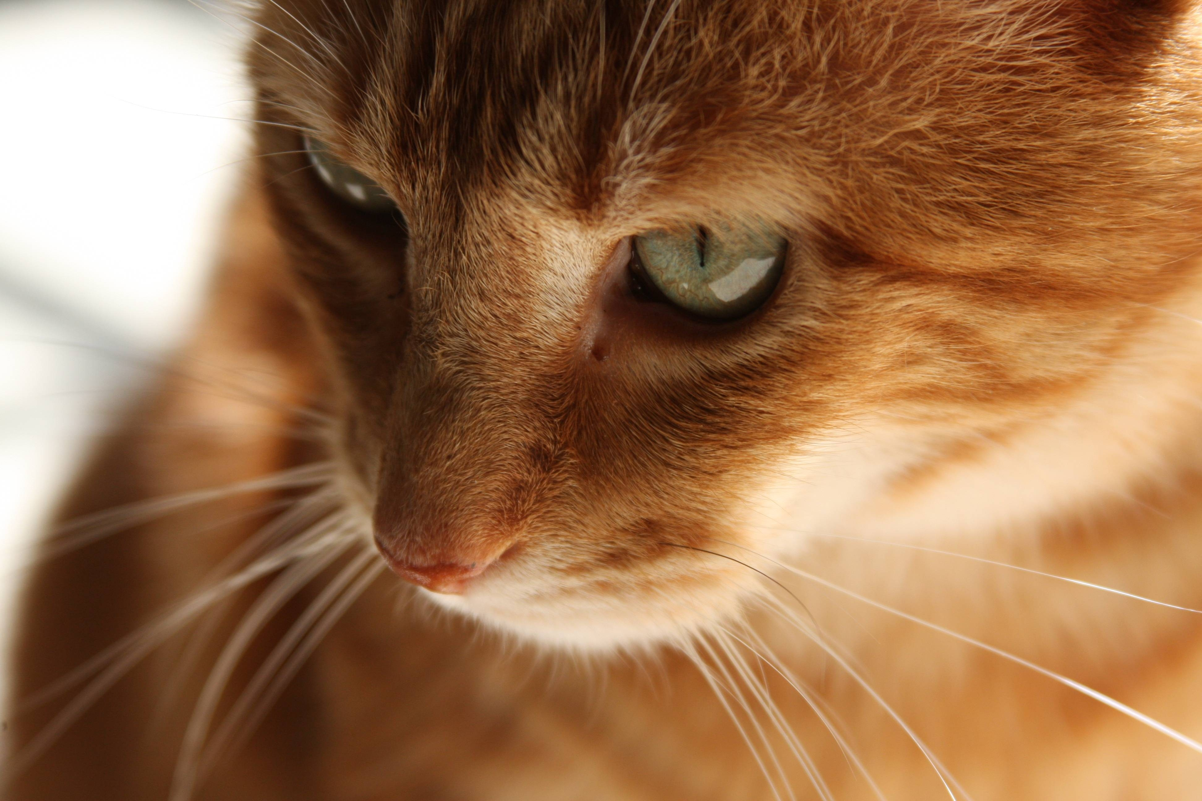 77048 download wallpaper Animals, Cat, Kitty, Kitten, Redhead, Muzzle screensavers and pictures for free