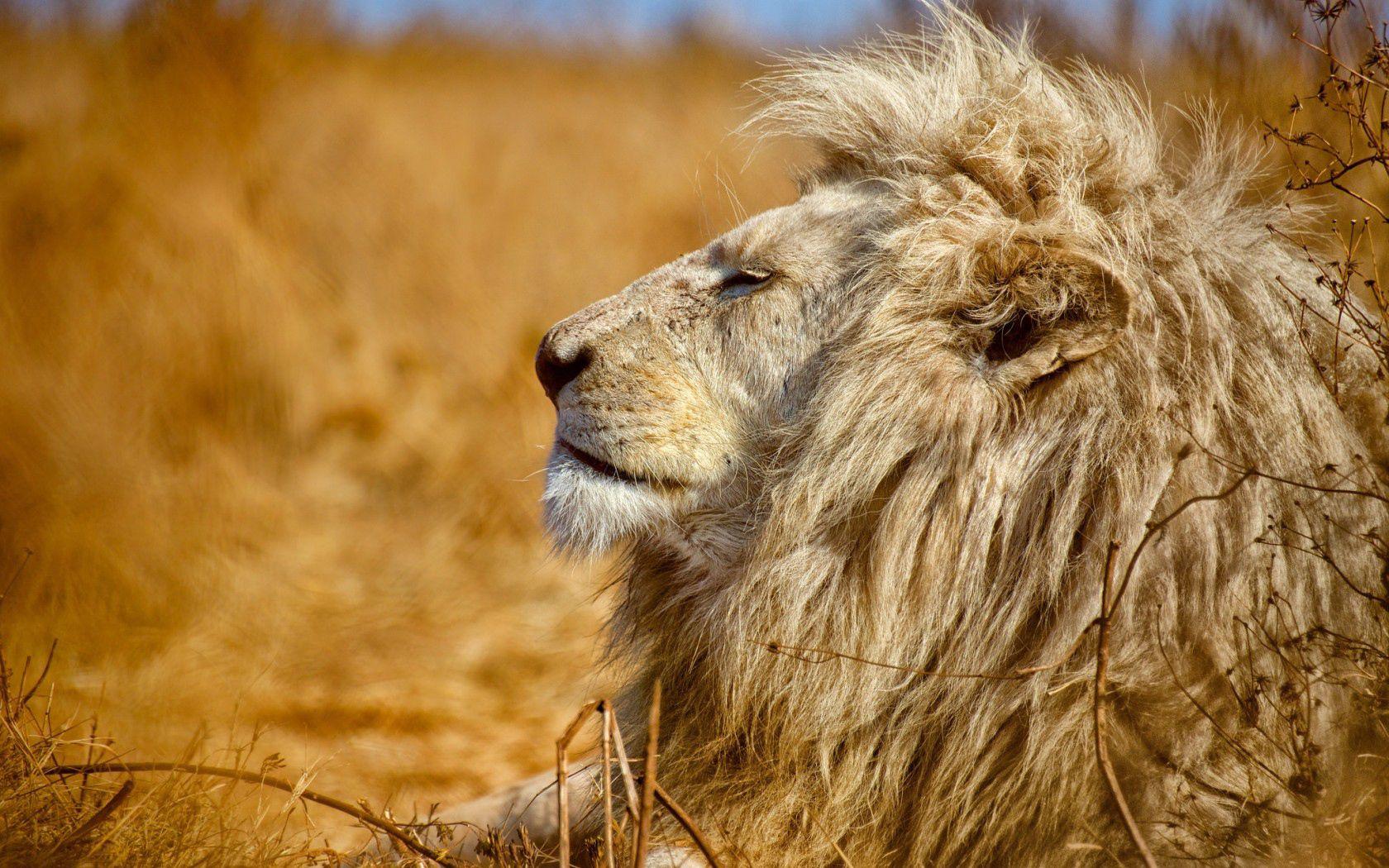 95768 baixar papel de parede Animais, Leão, Um Leão, Predator, Predador, Perfil, Rei Das Feras, Rei Das Bestas - protetores de tela e imagens gratuitamente