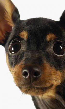 45985 baixar papel de parede Animais, Cães - protetores de tela e imagens gratuitamente