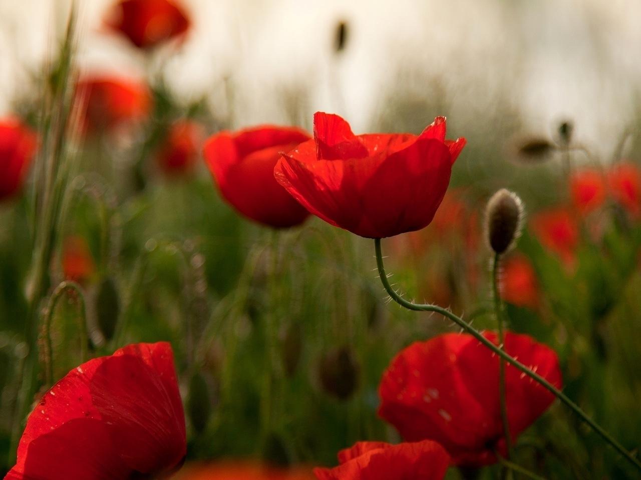25380 скачать обои Растения, Цветы, Маки - заставки и картинки бесплатно