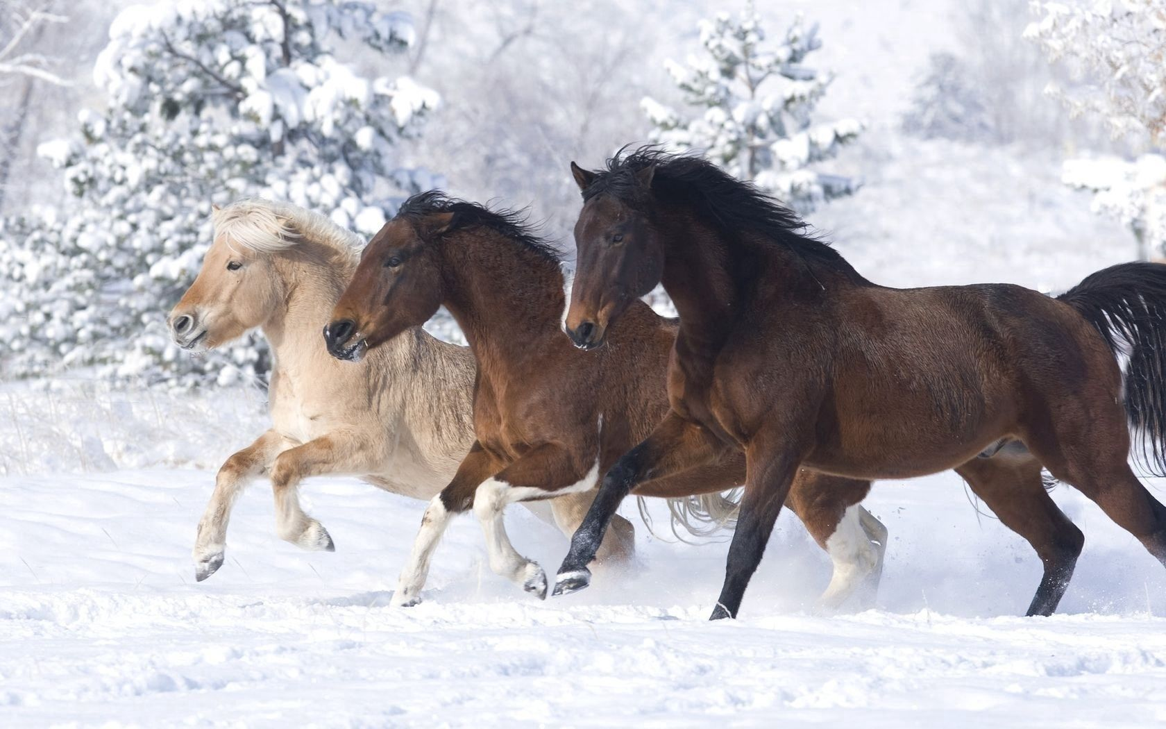 52890 download wallpaper Animals, Horses, Running At A Gallop, Running A Gallop, Winter screensavers and pictures for free