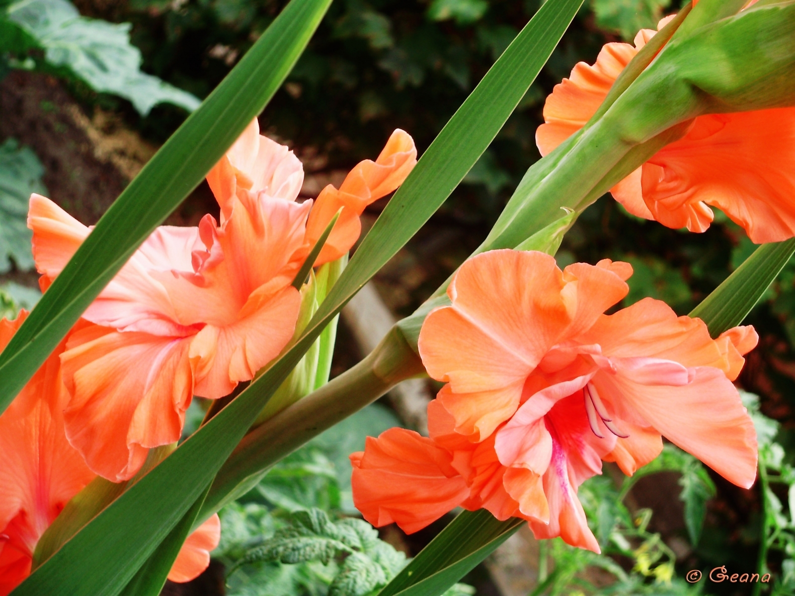 1442 download wallpaper Plants, Flowers, Gladiolus screensavers and pictures for free