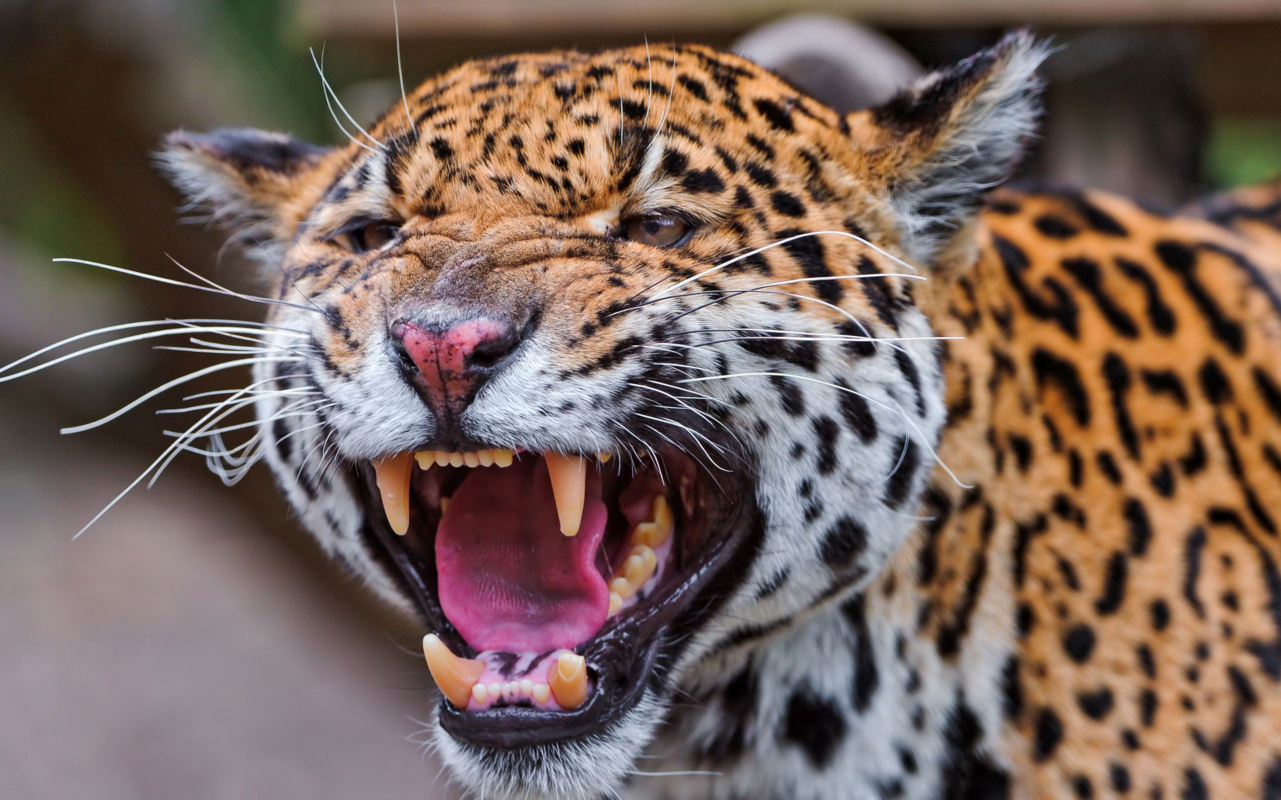 154100 download wallpaper Animals, Jaguar, Spotted, Spotty, Muzzle, Predator, Big Cat screensavers and pictures for free