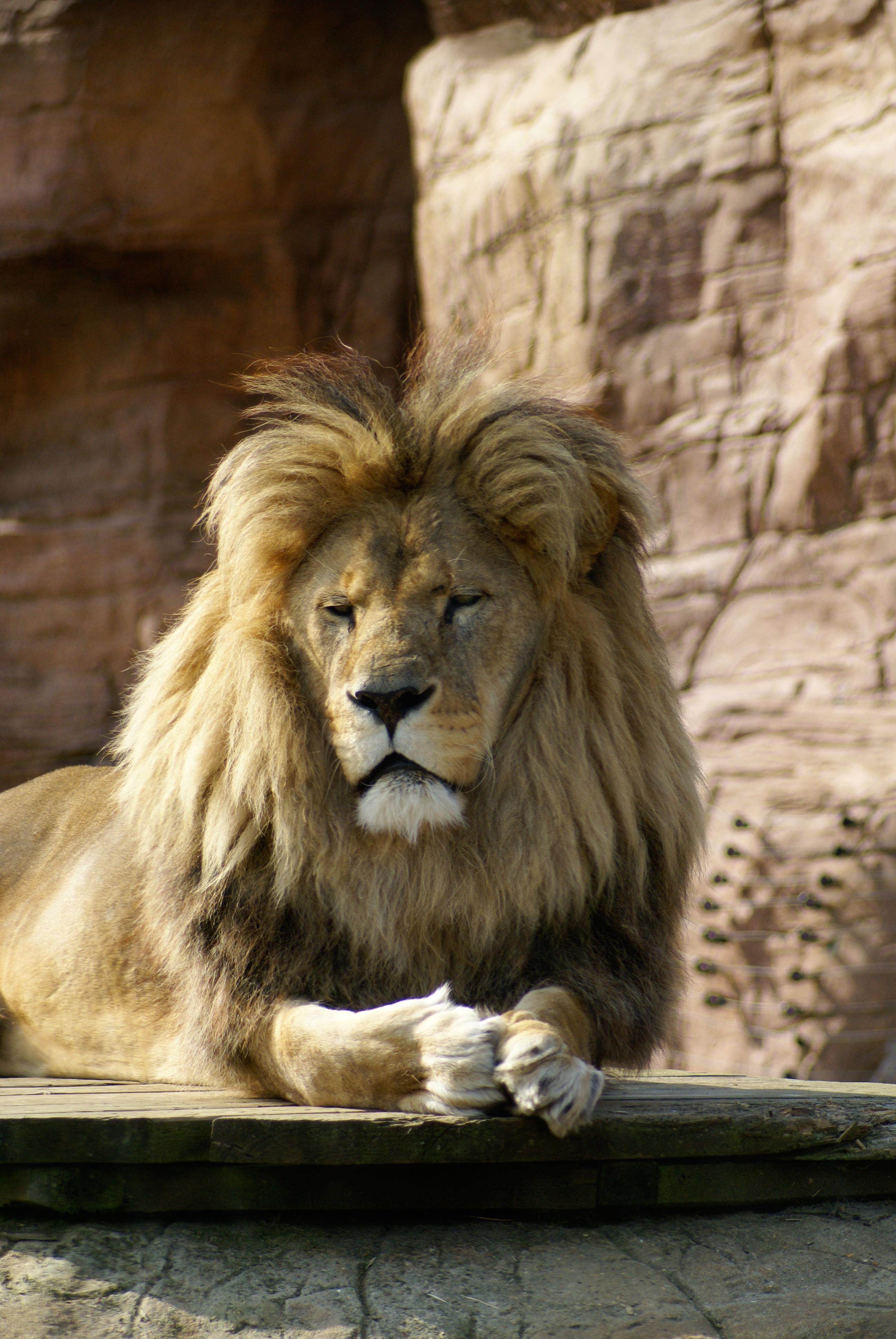 51412 baixar papel de parede Animais, Leão, Castanho, Marrom, Um Leão, Gato Grande, Animal, Rei Das Feras, Rei Das Bestas - protetores de tela e imagens gratuitamente