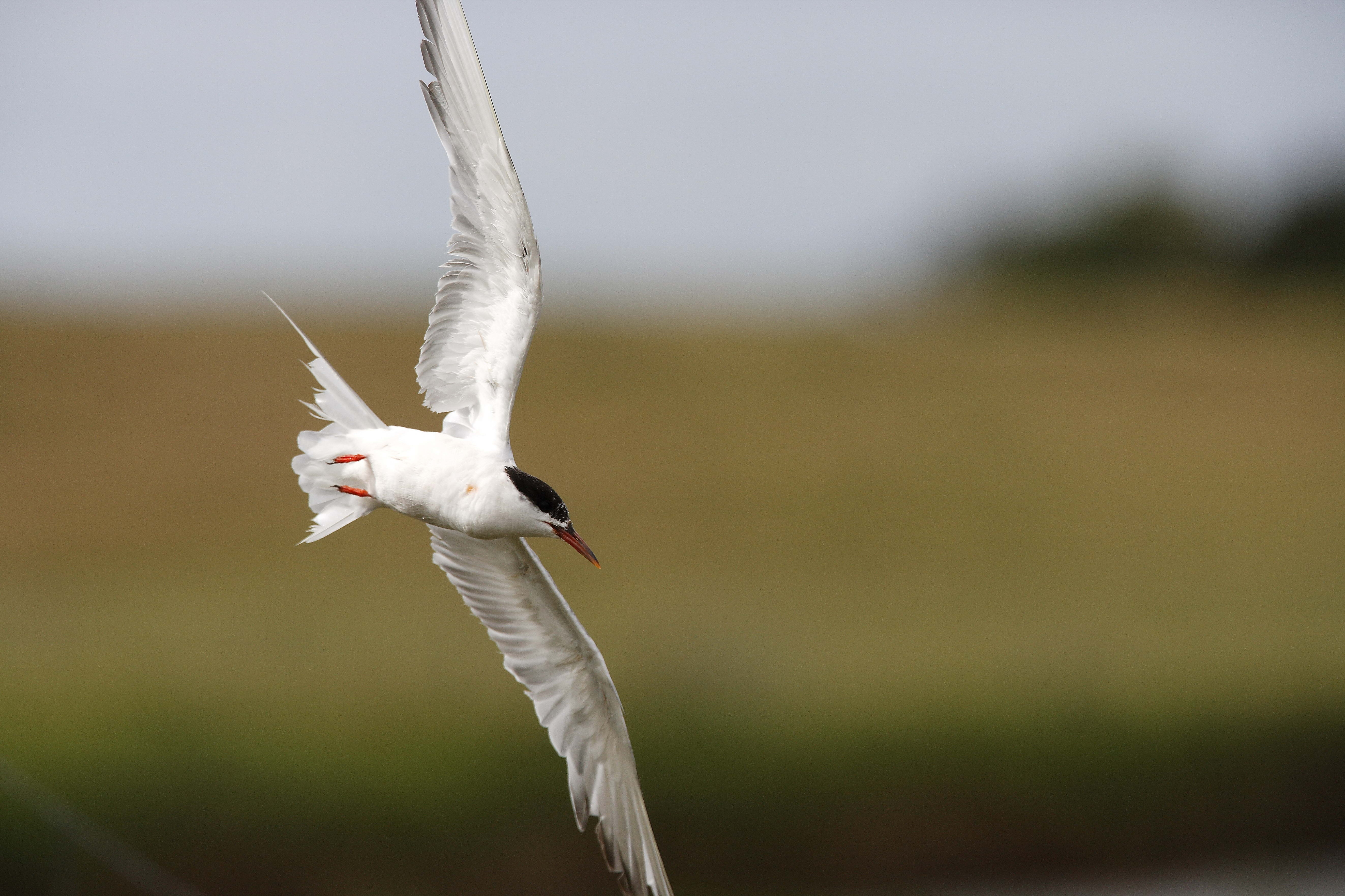 66447 download wallpaper Animals, Gull, Seagull, Flight, Bird, Blur, Smooth screensavers and pictures for free