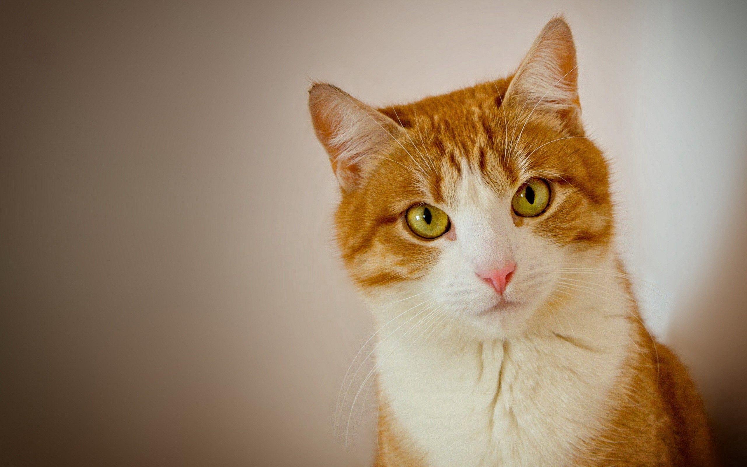 144688 descargar fondo de pantalla Animales, Gato, Bozal, Visión, Opinión: protectores de pantalla e imágenes gratis