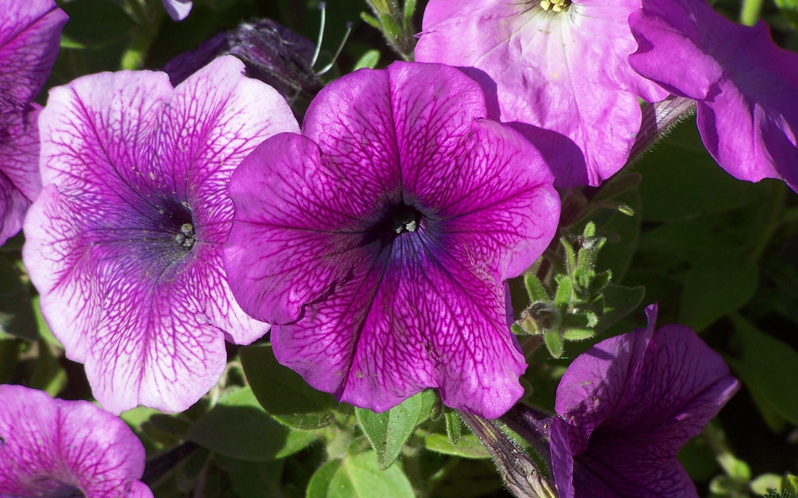 7773 download wallpaper Plants, Flowers, Violet screensavers and pictures for free