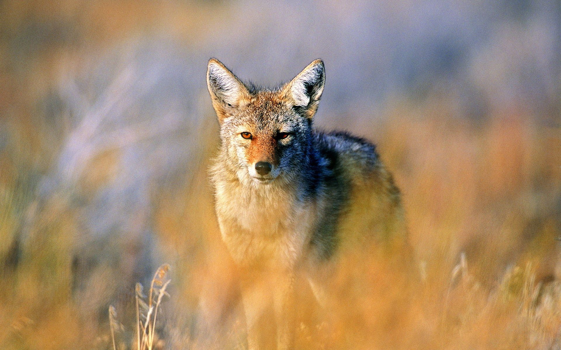 72631 download wallpaper Animals, Jackal, Hunting, Hunt, Steppe screensavers and pictures for free