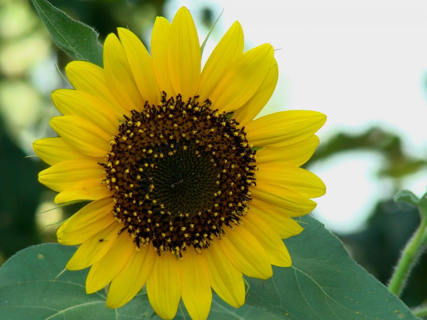 36985 скачать обои Растения, Цветы, Подсолнухи - заставки и картинки бесплатно