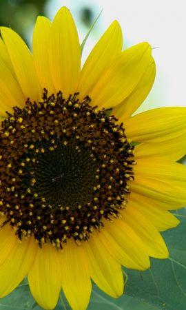 36985 télécharger le fond d'écran Plantes, Fleurs, Tournesols - économiseurs d'écran et images gratuitement