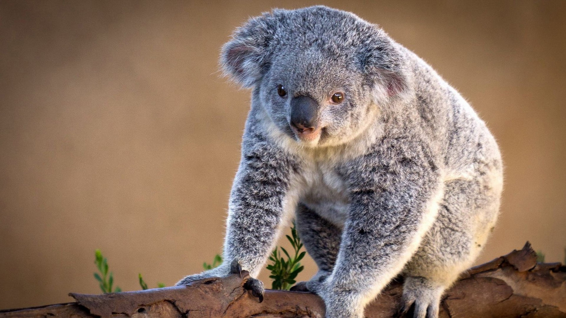 40810 download wallpaper Animals, Koalas screensavers and pictures for free