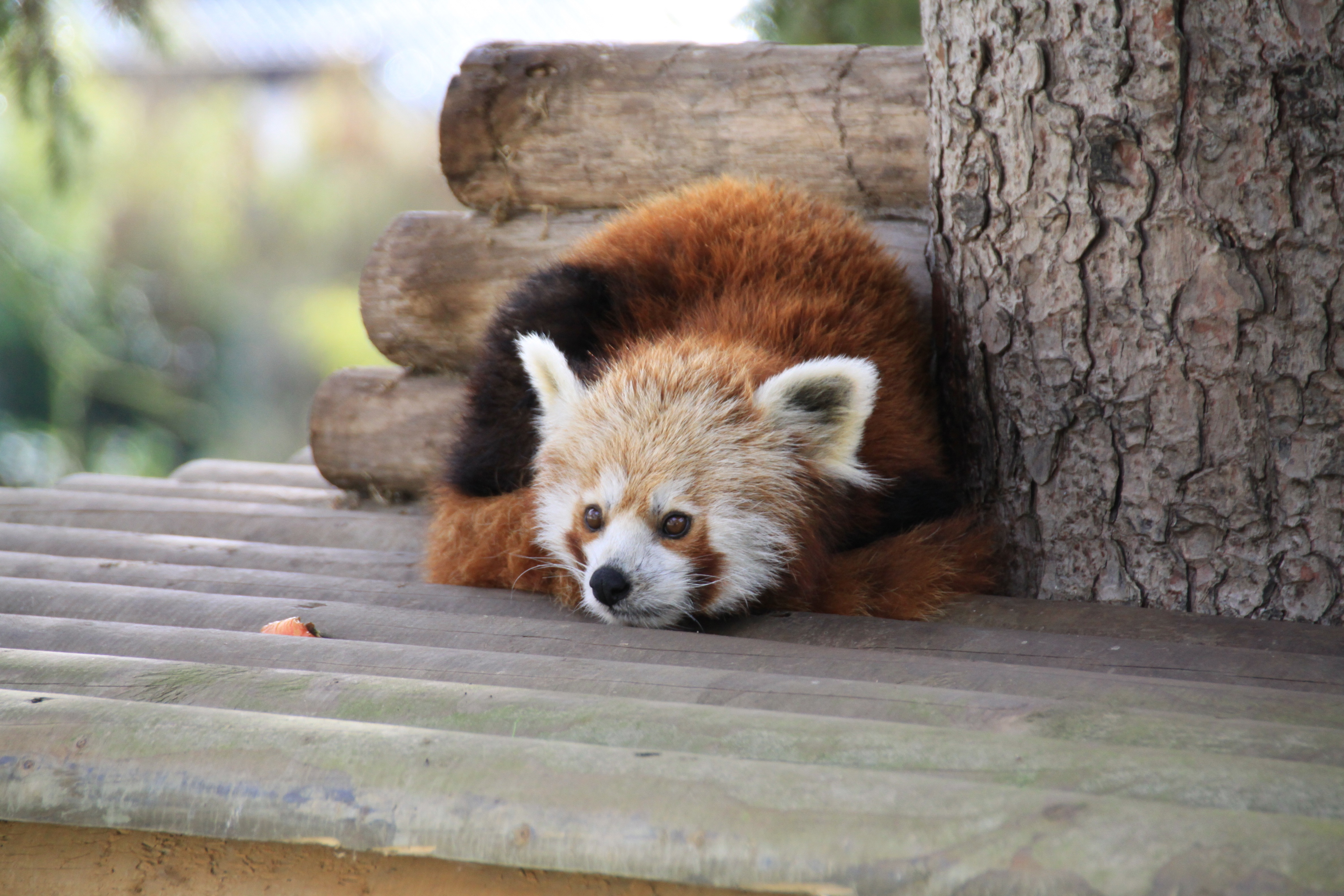 108459 download wallpaper Animals, Red Panda, To Lie Down, Lie, Panda, Relaxation, Rest screensavers and pictures for free