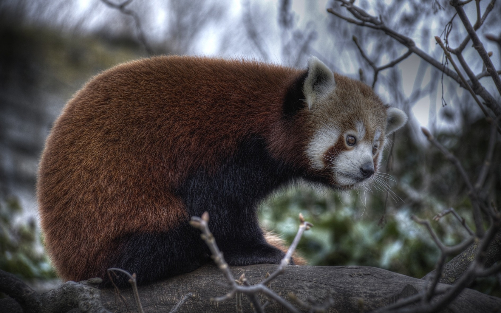 34654 download wallpaper Animals, Pandas screensavers and pictures for free