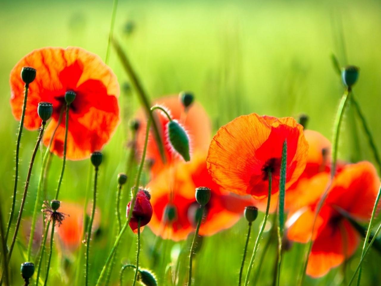 Скачать картинку Растения, Цветы, Маки в телефон бесплатно.