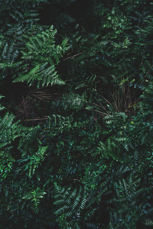 55707 Hintergrundbild herunterladen Natur, Blätter, Farne, Bush, Pflanze - Bildschirmschoner und Bilder kostenlos