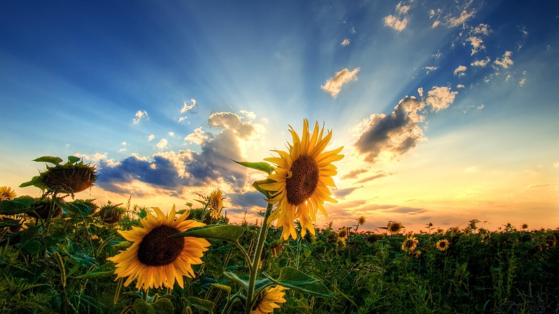 24020 免費下載壁紙 植物, 花卉, 日落, 向日葵 屏保和圖片
