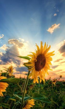 24020 скачать обои Растения, Цветы, Закат, Подсолнухи - заставки и картинки бесплатно