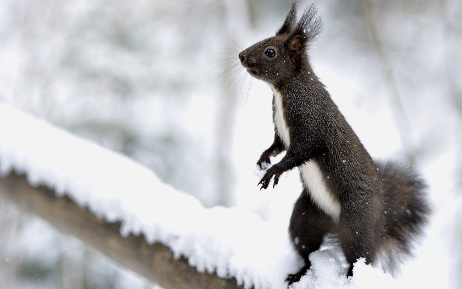150938 Screensavers and Wallpapers Squirrel for phone. Download Animals, Squirrel, Snow, On Hind Legs, On The Hind Legs pictures for free