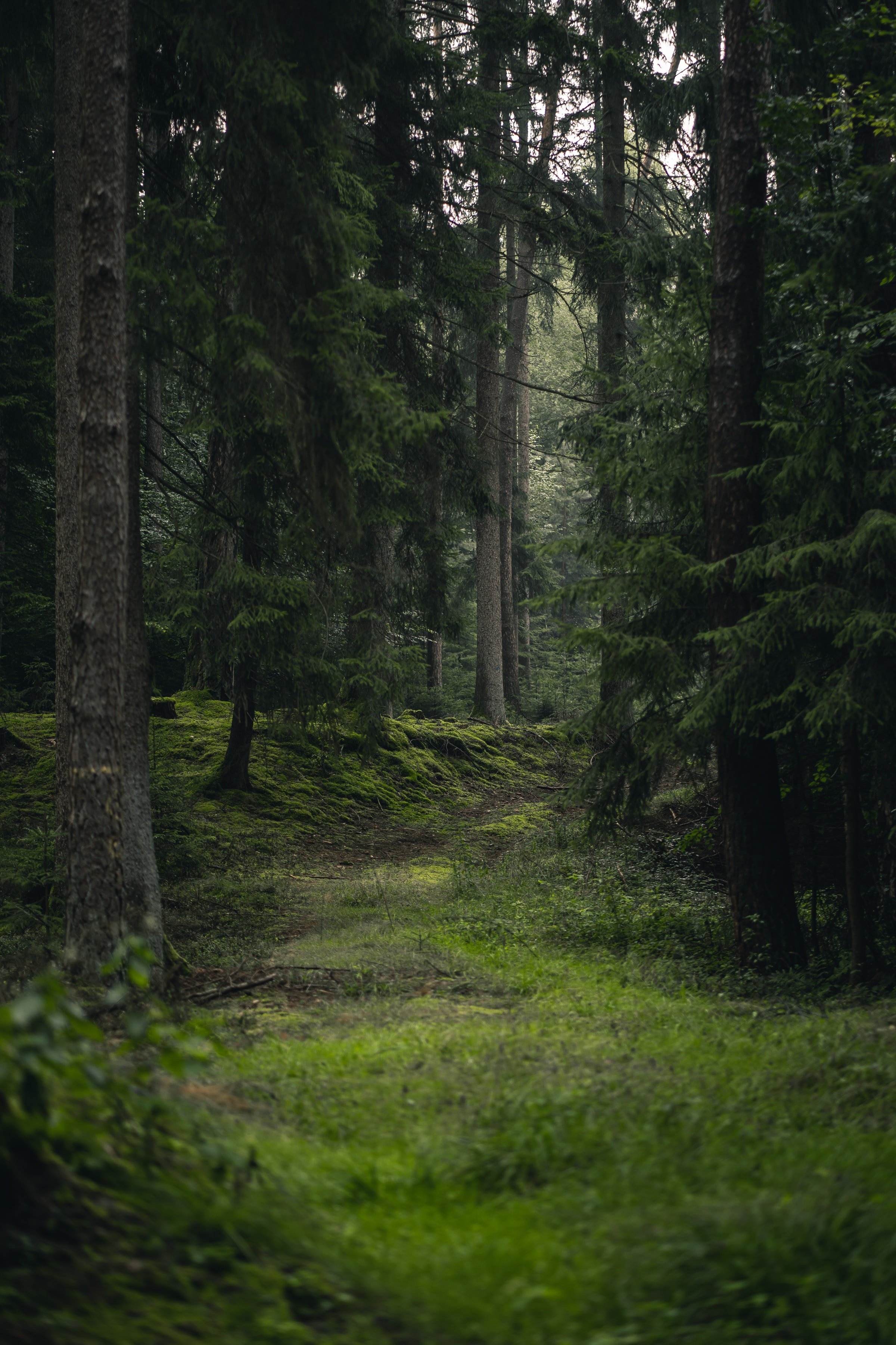 95122 Screensavers and Wallpapers Spruce for phone. Download Nature, Trees, Grass, Forest, Spruce, Fir pictures for free
