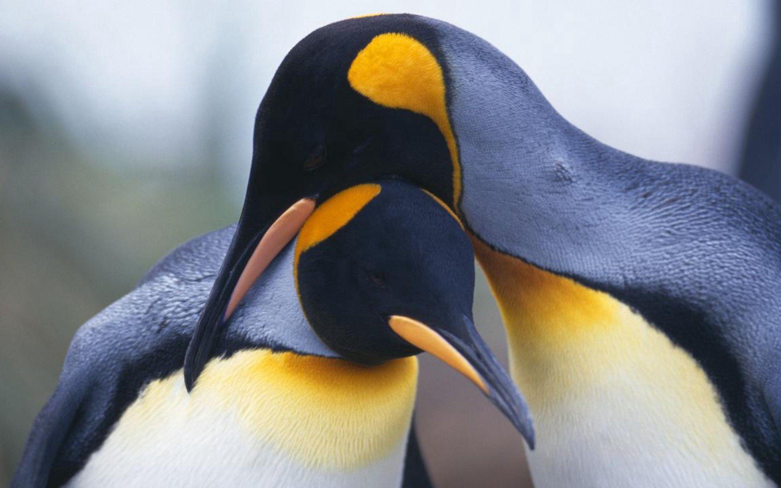 50831 Hintergrundbild herunterladen Tiere, Vögel, Pinguins, Schnabel, Paar - Bildschirmschoner und Bilder kostenlos