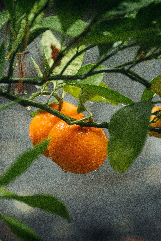 107327 скачать обои Растение, Плоды, Макро, Ветки, Апельсины, Мокрый, Оранжевый - заставки и картинки бесплатно