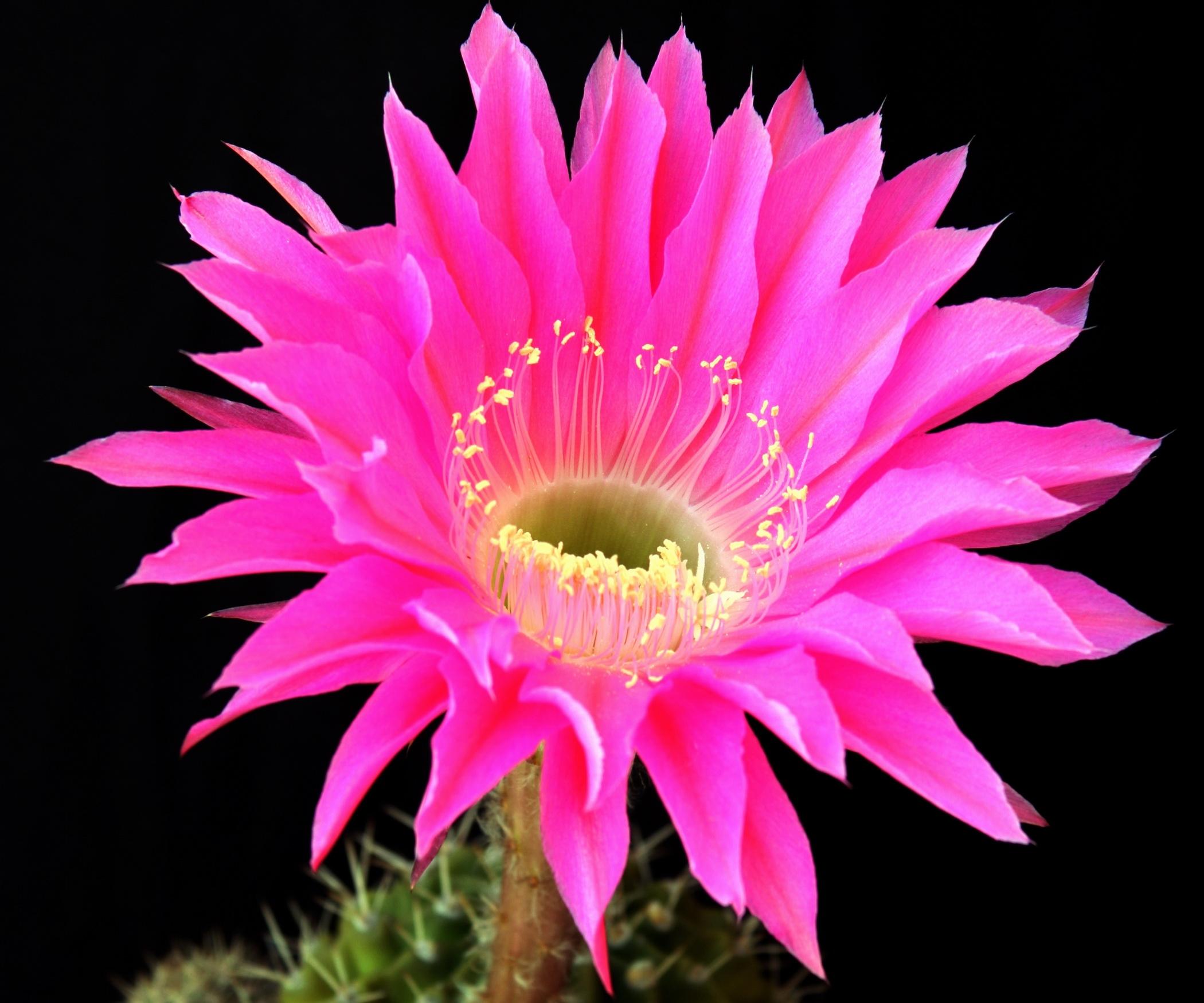 157712 скачать обои Цветы, Кактус, Цветок, Распустился, Фон - заставки и картинки бесплатно