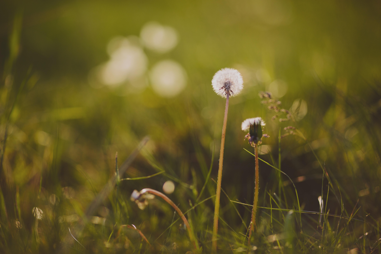 86641 Hintergrundbild herunterladen Grass, Löwenzahn, Blume, Makro - Bildschirmschoner und Bilder kostenlos