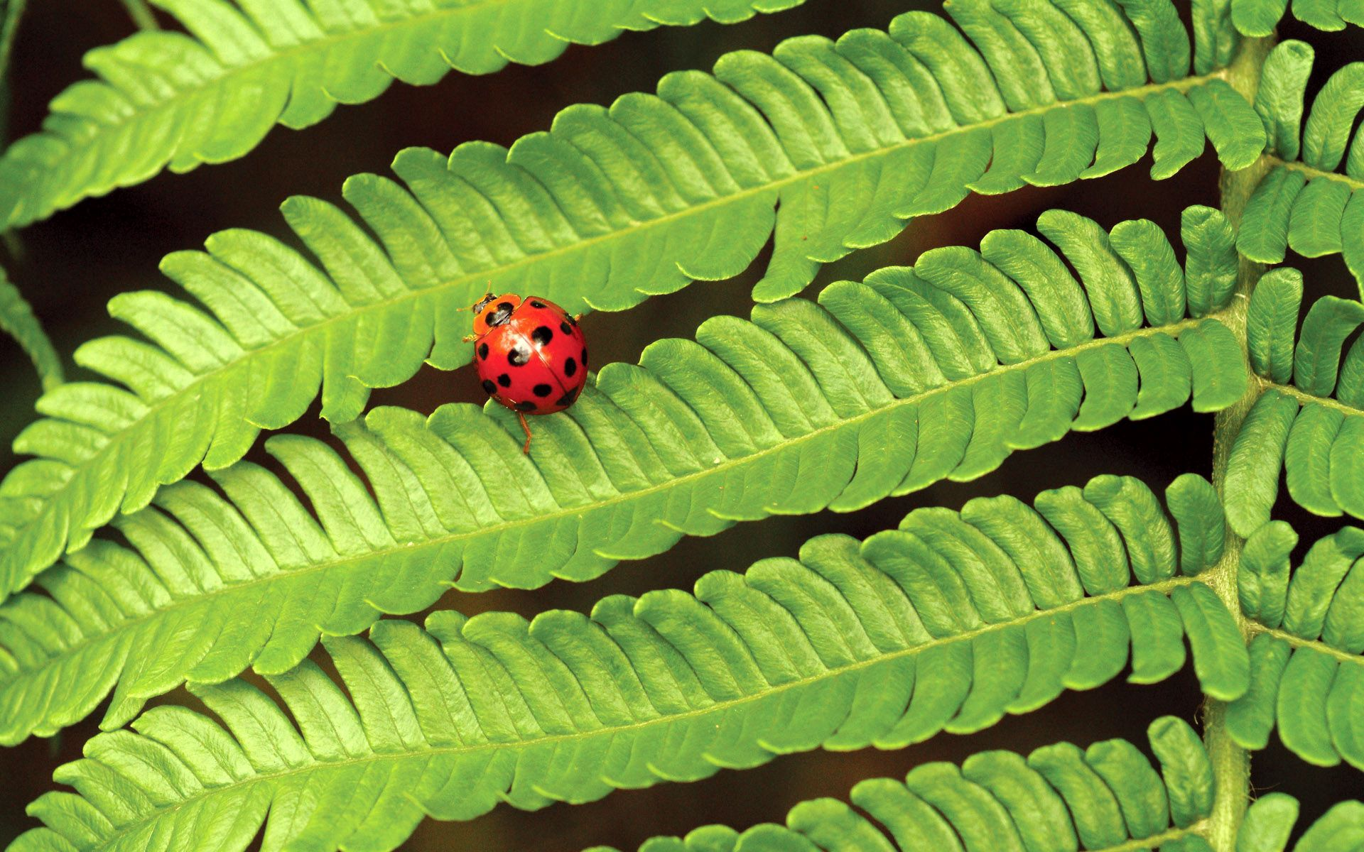 83933 download wallpaper Macro, Fern, Ladybug, Ladybird, Insect, Leaves, Plant screensavers and pictures for free