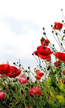 104443 скачать обои Цветы, Маки, Поле, Лето, Небо, Зелень, Трава - заставки и картинки бесплатно