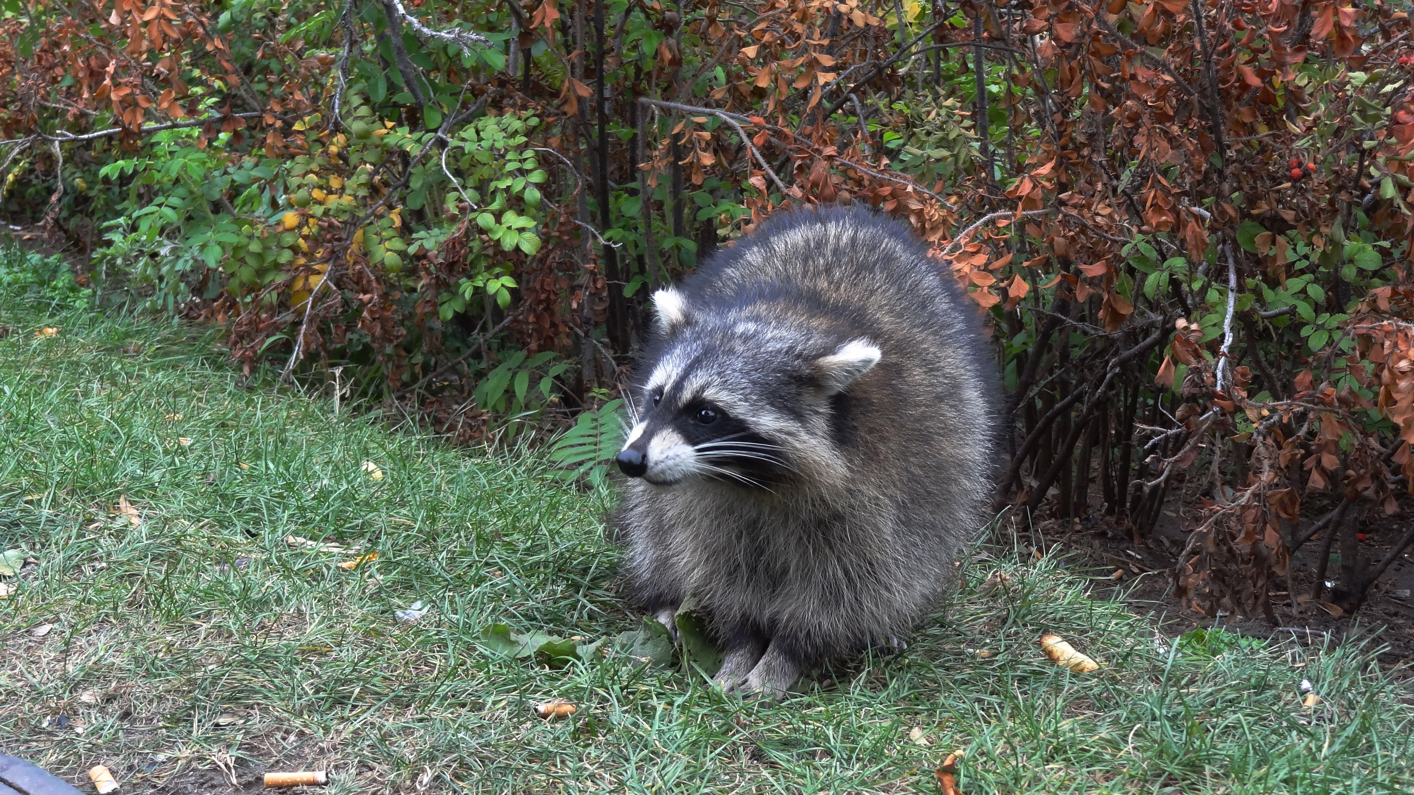 95105 Screensavers and Wallpapers Raccoon for phone. Download Animals, Grass, Forest, Stroll, Raccoon pictures for free