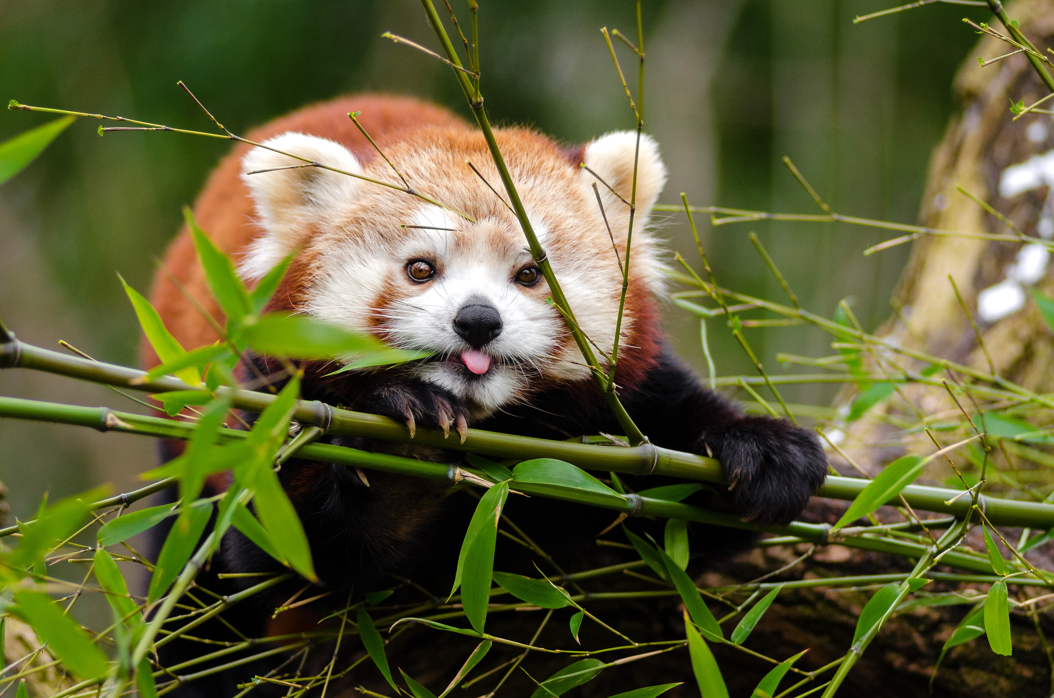 87680 download wallpaper Animals, Fiery Panda, Red Panda, Protruding Tongue, Tongue Stuck Out, Cool screensavers and pictures for free