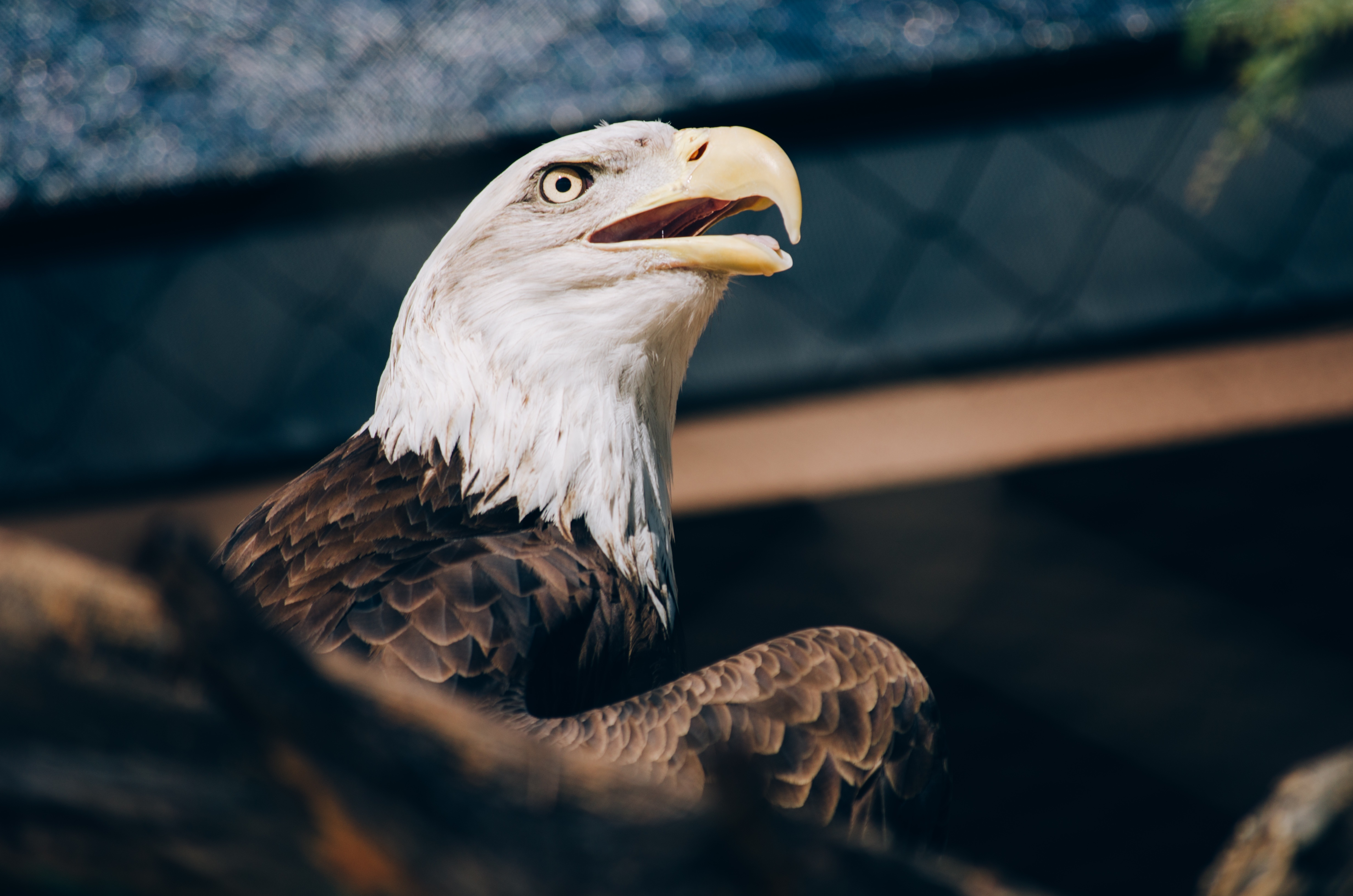 96410 download wallpaper Animals, Bald Eagle, White-Headed Eagle, Eagle, Bird, Beak, Predator screensavers and pictures for free