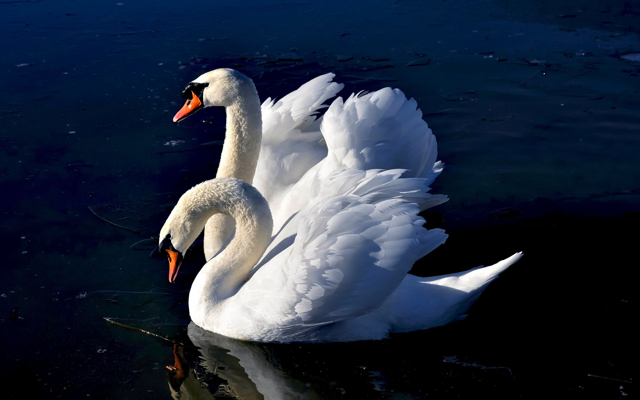 32239 download wallpaper Animals, Birds, Swans screensavers and pictures for free