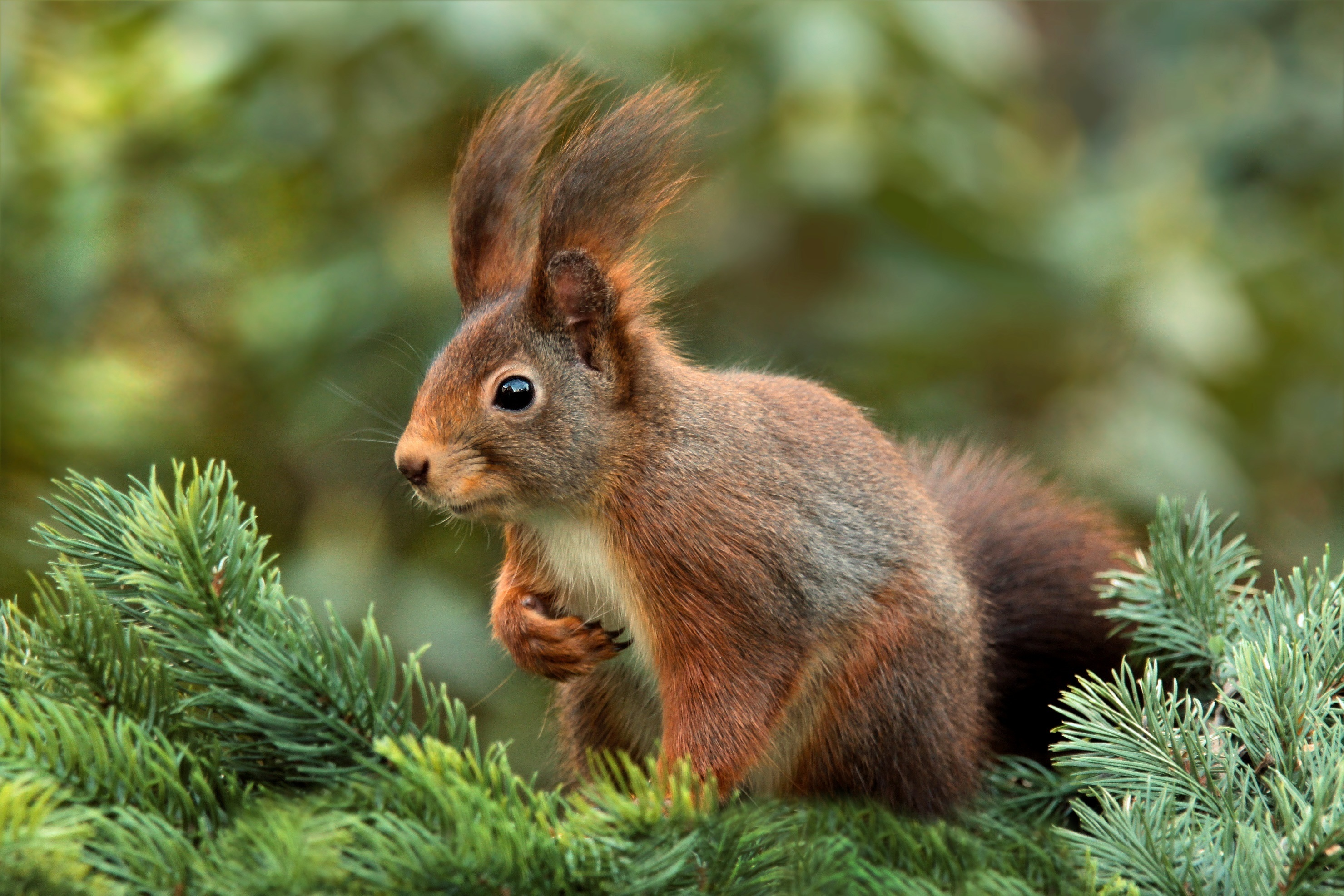 90855 Screensavers and Wallpapers Spruce for phone. Download Animals, Squirrel, Blur, Smooth, Spruce, Fir pictures for free
