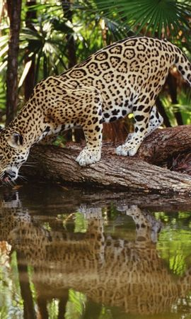 4855 download wallpaper Animals, Leopards screensavers and pictures for free