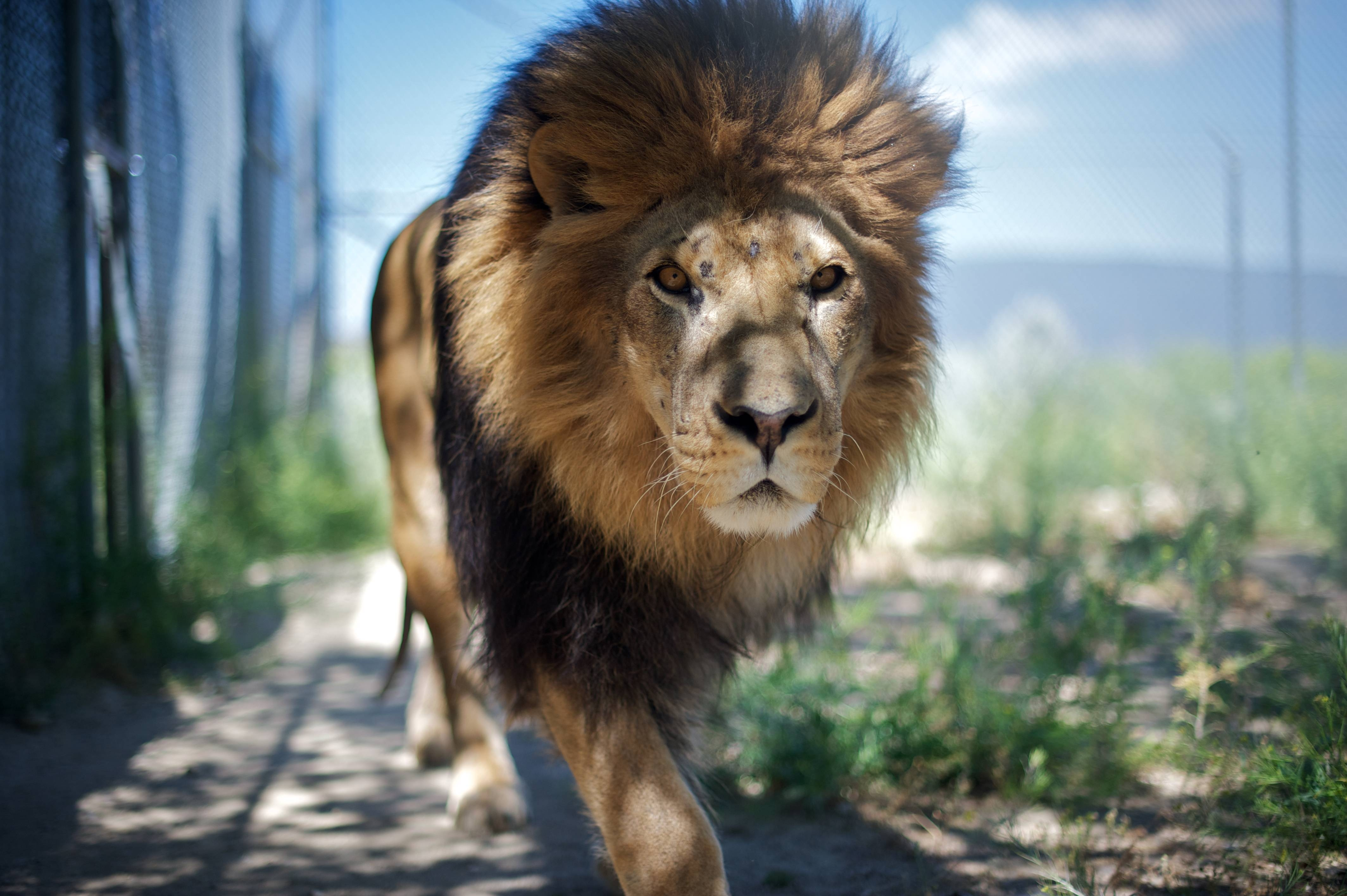 108187 download wallpaper Animals, Lion, Mane, Predator, Muzzle, Shadow screensavers and pictures for free