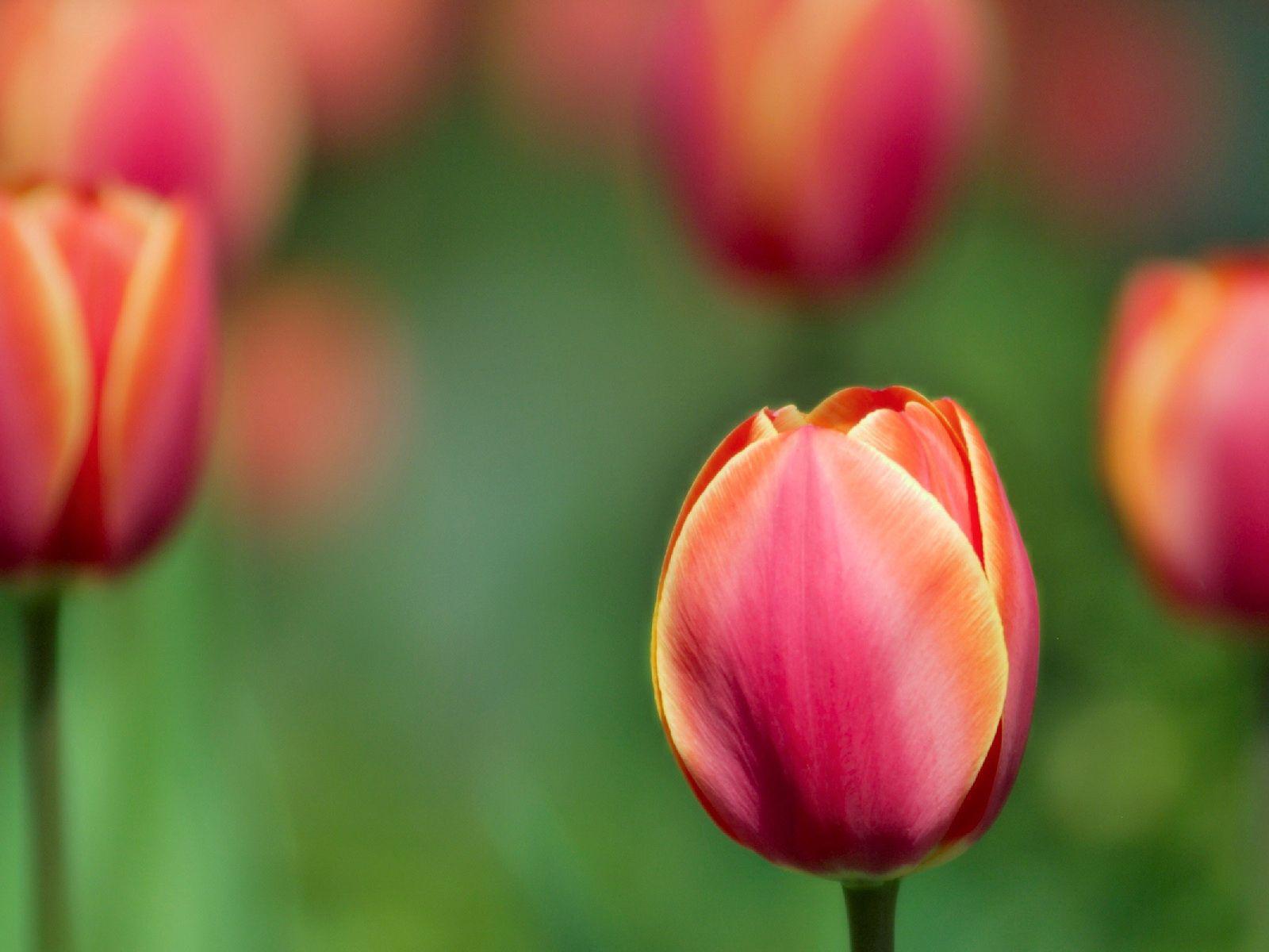 130107 скачать обои Цветы, Размытость, Крупный План, Тюльпаны - заставки и картинки бесплатно