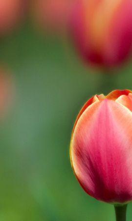 130107 télécharger le fond d'écran Fleurs, Flou, Lisse, Fermer, Gros Plan, Tulipes - économiseurs d'écran et images gratuitement