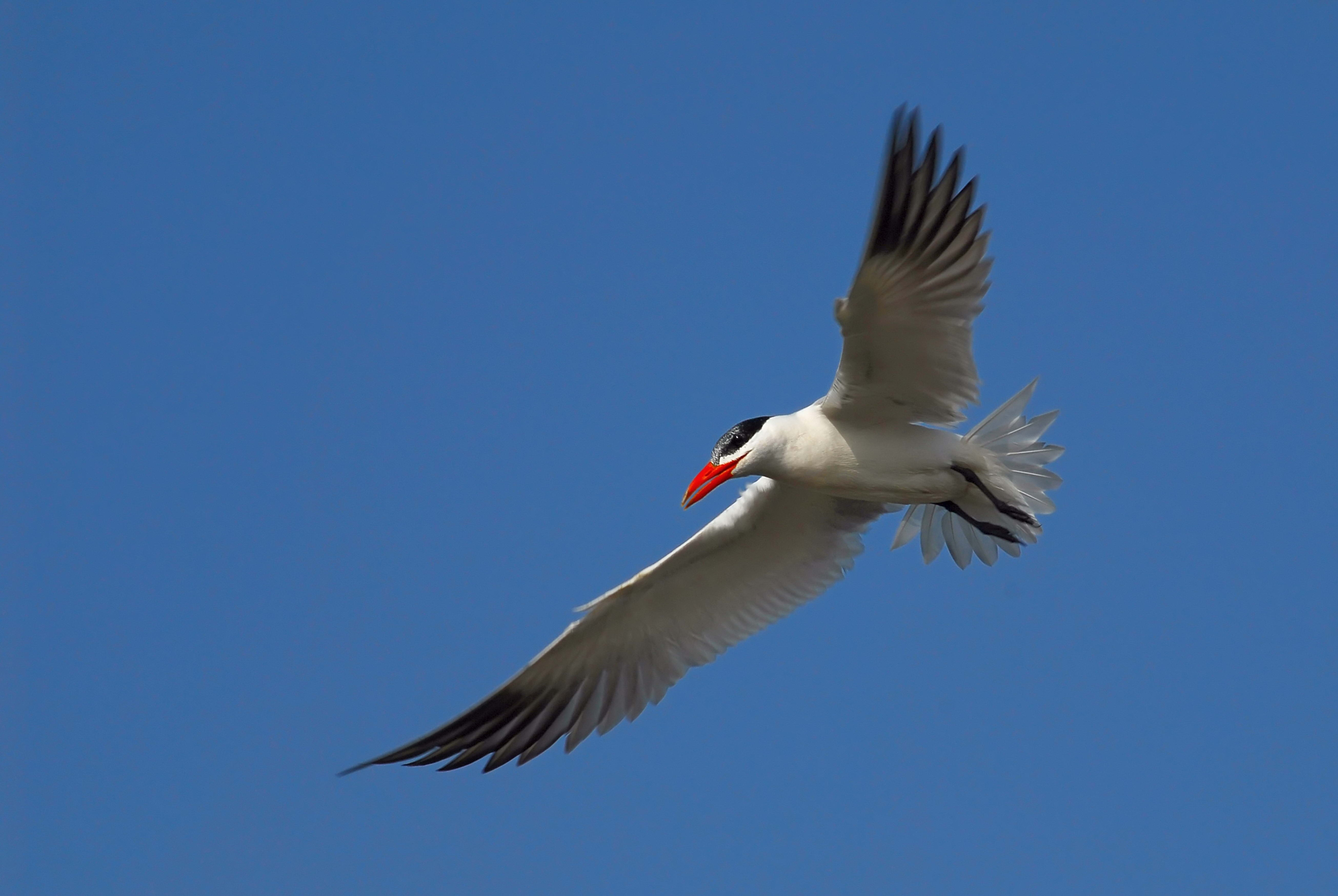 82692 download wallpaper Animals, Gull, Seagull, Sky, Flight screensavers and pictures for free