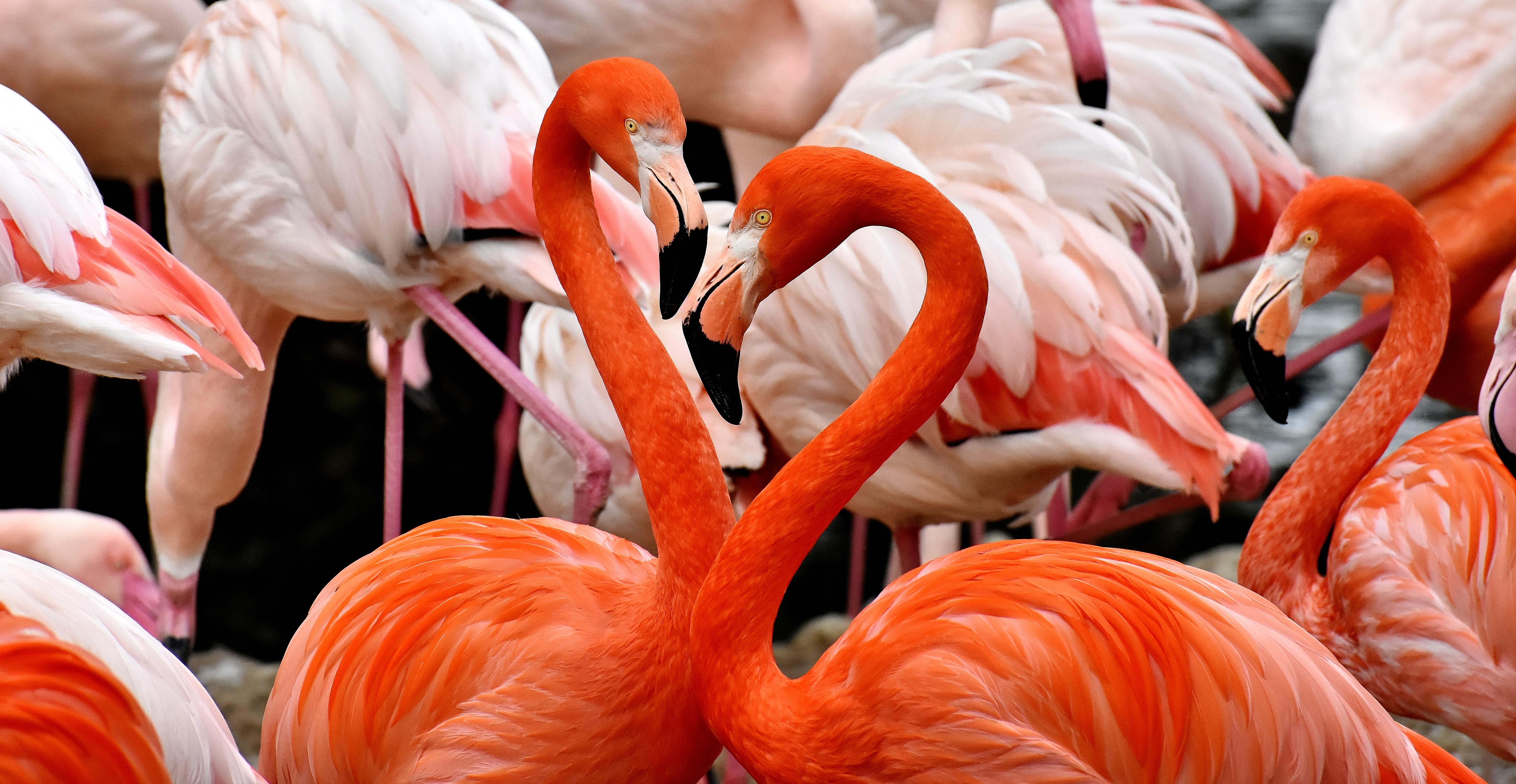 152128 Заставки и Обои Птицы на телефон. Скачать Птицы, Фламинго, Животные, Перья, Красочный картинки бесплатно