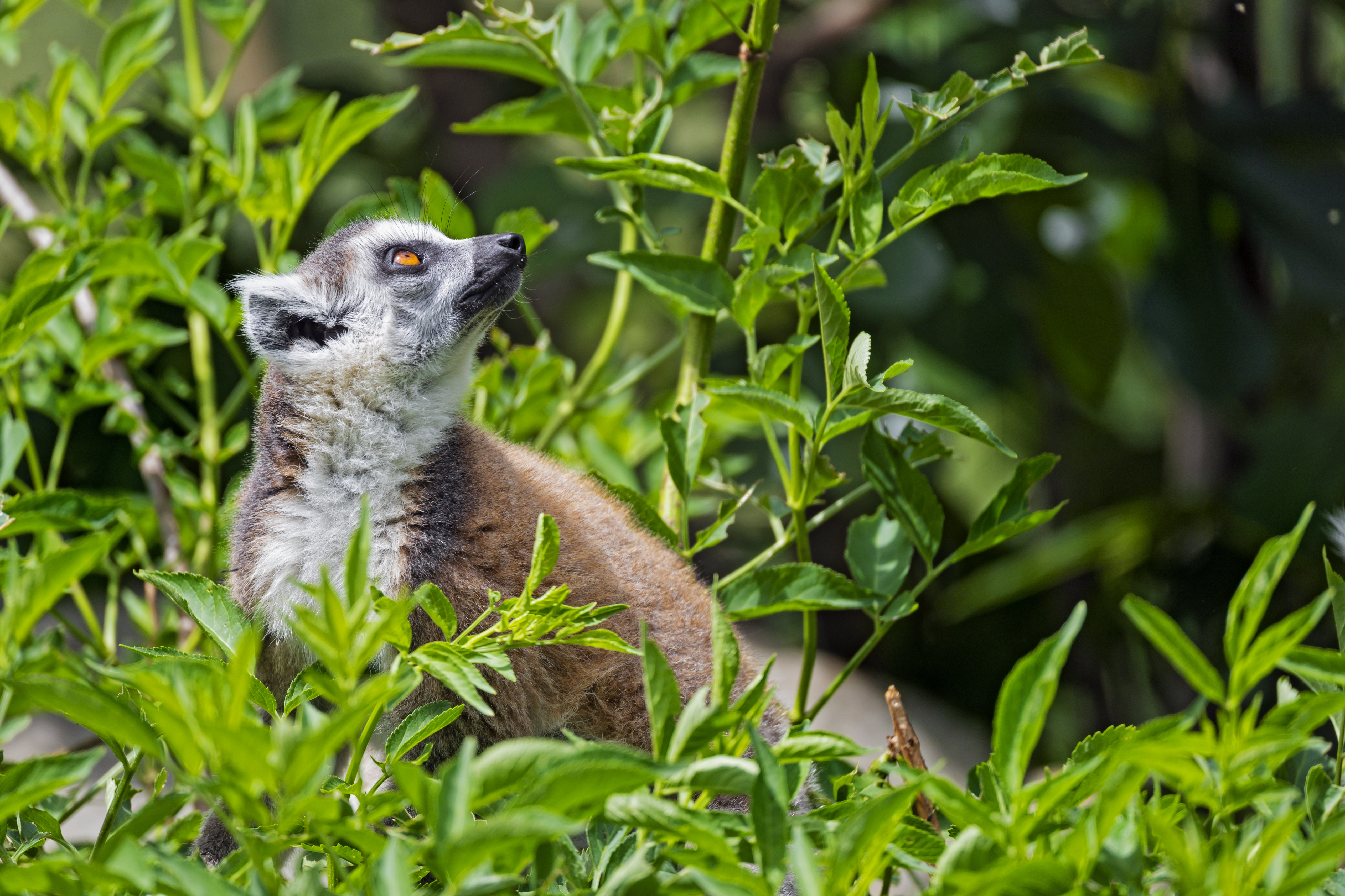 88669 download wallpaper Animals, Lemur, Animal, Profile, Grass screensavers and pictures for free