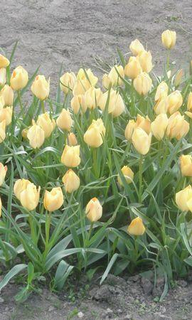 485 скачать обои Растения, Цветы, Тюльпаны - заставки и картинки бесплатно