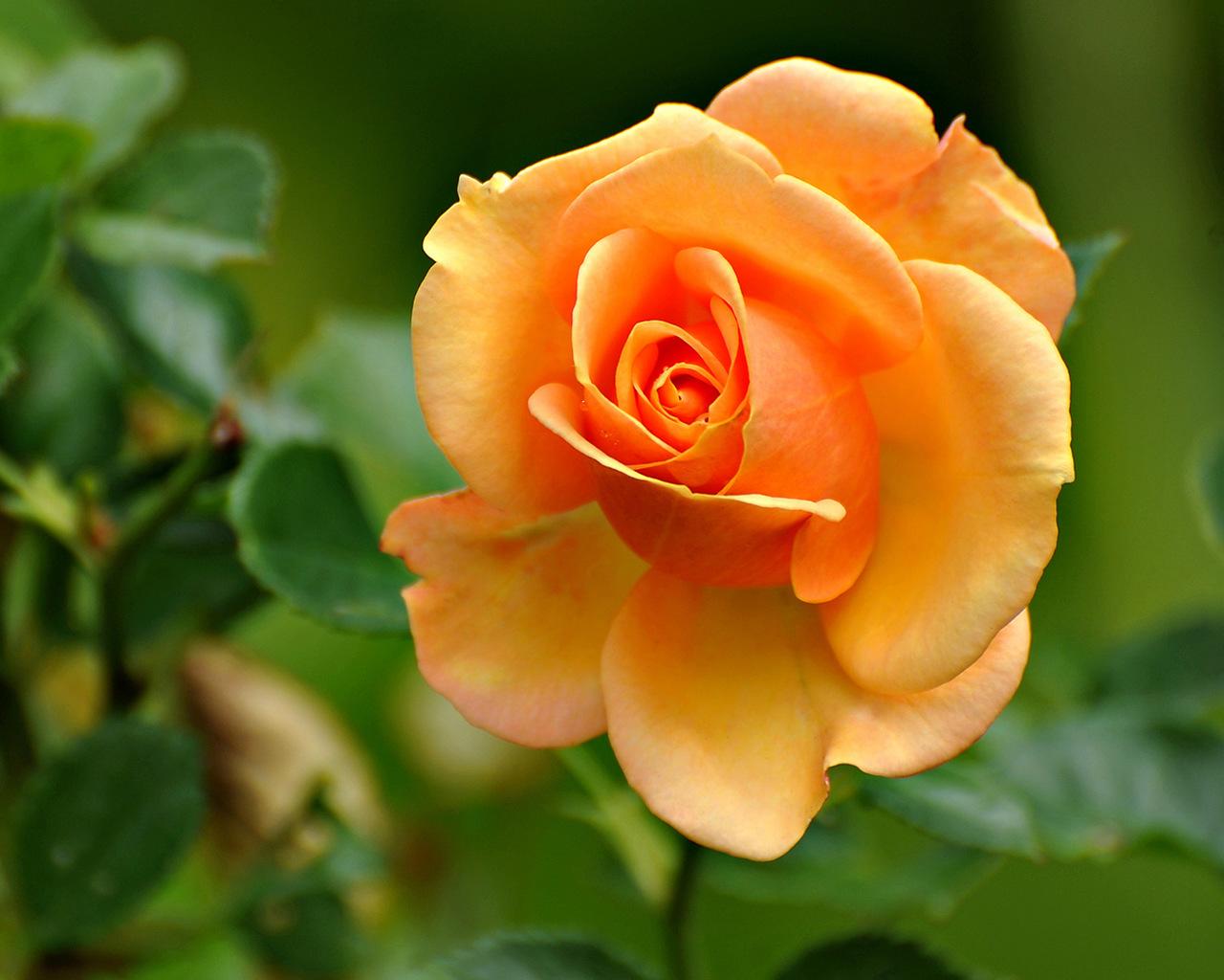 16210 скачать обои Растения, Цветы, Розы - заставки и картинки бесплатно