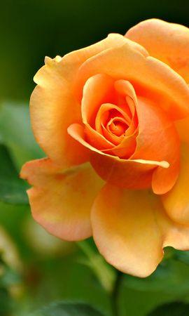 16210 descargar fondo de pantalla Plantas, Flores, Roses: protectores de pantalla e imágenes gratis